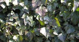 Krzewy zimozielone - podstawowa wiedza o ich uprawie