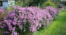 Astry - kwiaty na każdą porę roku.