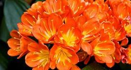Pięknie kwitnąca Kliwia – zasady  uprawy  dla początkujących