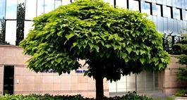 Kuliste drzewa i krzewy, czyli rośliny o kulistej koronie
