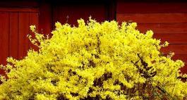 Kwitnące krzewy do ogrodu