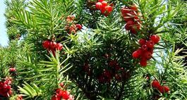 Krzewy iglaste do ogrodu