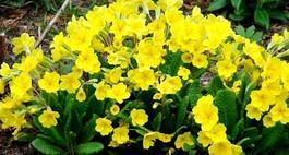 Pierwiosnki (primulki) kwiaty wiosny