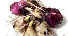 Przechowywanie i wykopywanie cebul kwiatowych