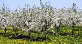 Drzewa owocowe - przycinanie