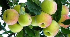 Stare odmiany jabłoni