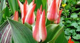 Choroby i szkodniki tulipanów
