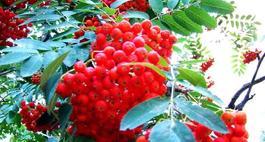 Owoce jarzębiny - rośliny lecznicze w ogrodzie
