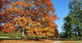 Dąb szypułkowy - Quercus robur