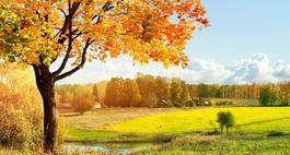 Klon polny ( Paklon )- Acer campestre