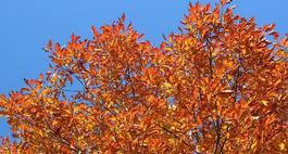 Dąb czerwony – Quercus rubra