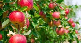 Oprysk jabłoni