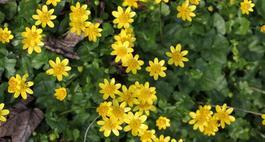 Ziarnopłon - jaskier wiosenny