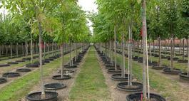 Jesion – Fraxinus - Drzewo z charakterem