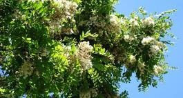Robinia akacjowa - Robinia pseudoacacia