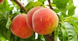 Brzoskwinie- odmiany brzoskwiń