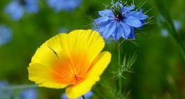 Czarnuszka - niesamowity kwiat