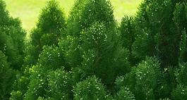 Cyprysik groszkowy - odmiany, uprawa i wymagania