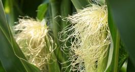 Kukurydza cukrowa