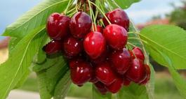 Czereśnie – odmiany, uprawa i przycinanie