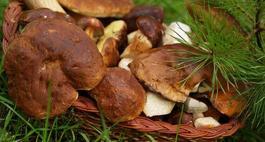 Mikoryza - sposób na grzyby leśne