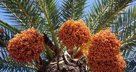 Palma daktylowa
