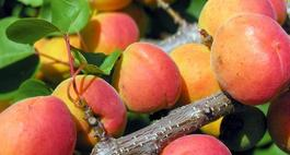 Morele - uprawa, odmiany i choroby