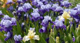 Niebieskie irysy - najciekawsze odmiany