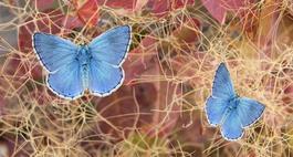 Modraszek - ikar, orion i telajus