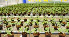 Rozsada pomidorów – jak przygotować sadzonki pomidorów?