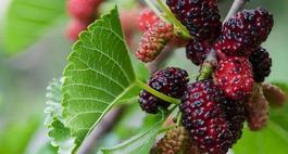 Morwa czarna – uprawa, sadzonki i właściwości