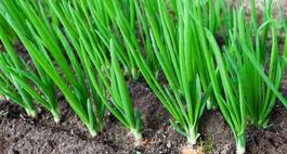 Cebula zwyczajna – uprawa, odmiany i siew nasion