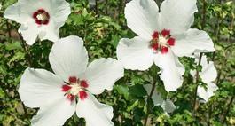 Hibiskus w ogrodzie – przycinanie, rozmnażanie i zimowanie