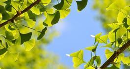 Miłorząb dwuklapowy – uprawa, opis i zdjęcia