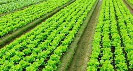 Sałata – uprawa, odmiany i właściwości