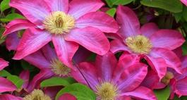 Powojnik wielkokwiatowy – uprawa i najciekawsze odmiany
