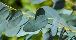 Eukaliptus niebieski – uprawa, sadzonki i zimowanie