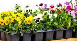Sadzonki kwiatów – jak przygotować?