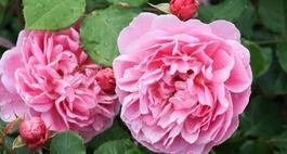 Róże angielskie – najciekawsze odmiany