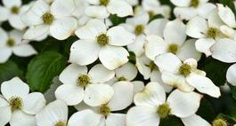 Dereń kwiecisty – proste zasady uprawy, odmiany i ciekawe zdjęcia
