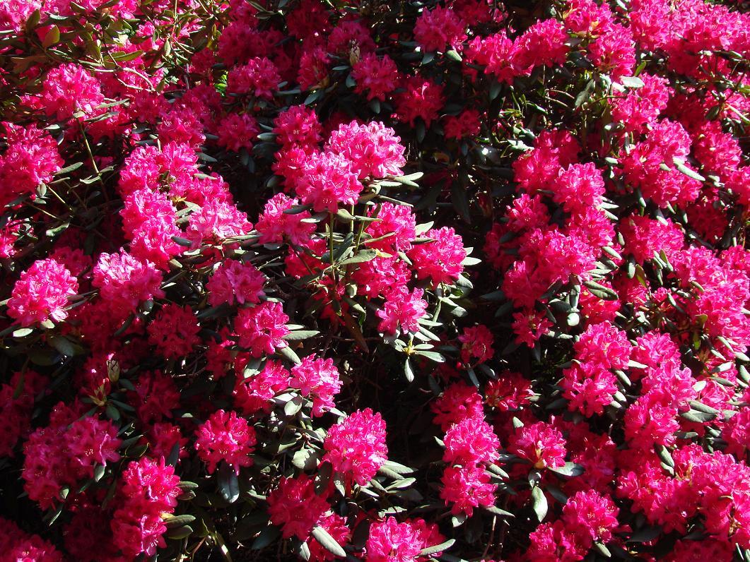 azalia różowa