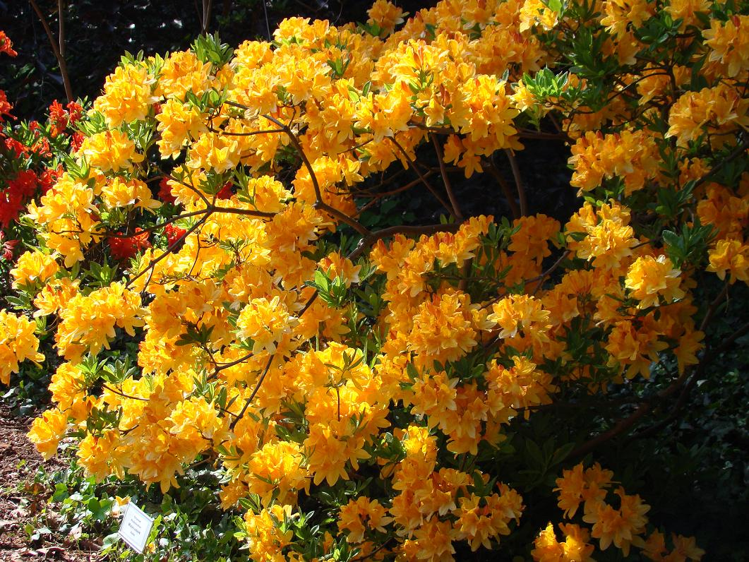 azalia żółta