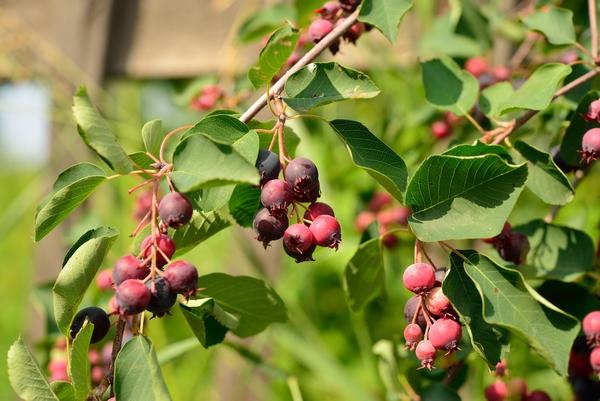 Borówka amerykańska – odmiany, sadzonki, rozmnażanie, sadzenie