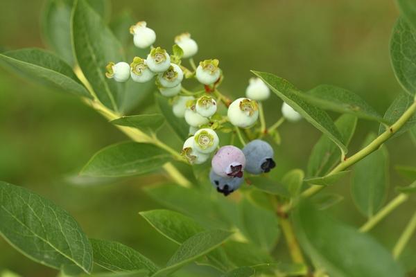 Borówka amerykańska – uprawa, pielęgnacja, choroby i szkodniki