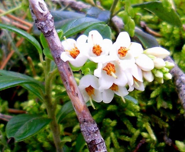 Borówki kwiaty