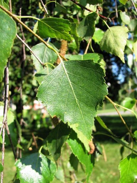 Brzoza brodawkowa - liście