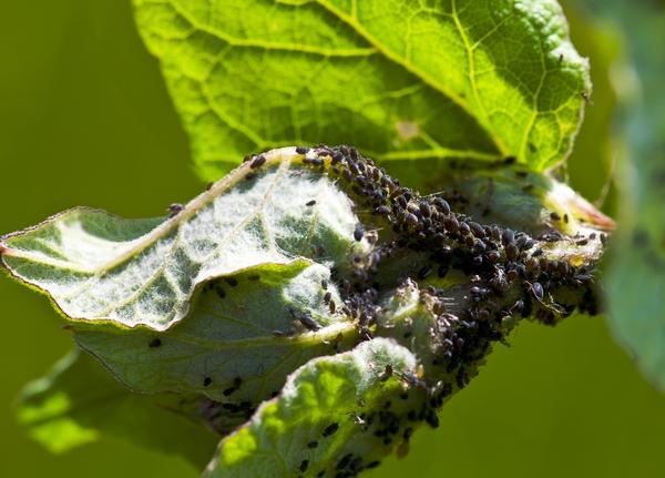 Choroby i szkodniki roślin balkonowych - mszyce