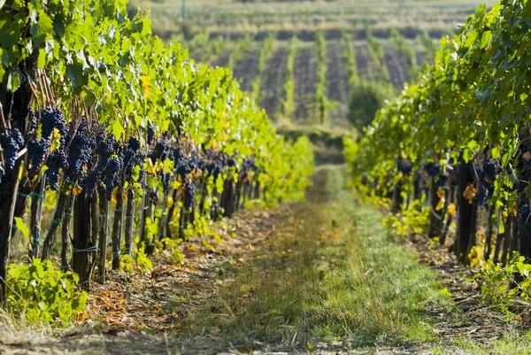Choroby winorośli – uprawa winorośli
