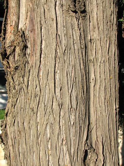 Cyprys wiecznie zielony - kora