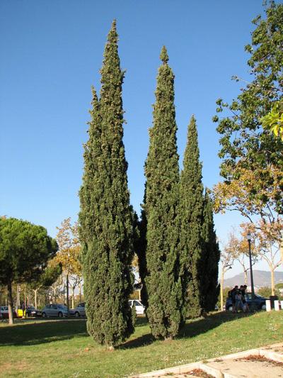 Cyprys wiecznie zielony